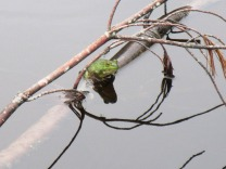 Frog in the pond 3