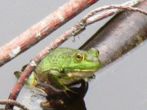 Frog in the pond 5