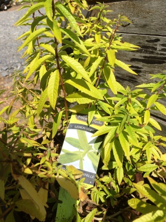 Lemon Verbena Herb