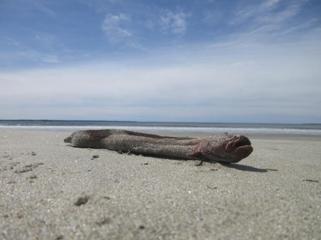 70. Sea Eel