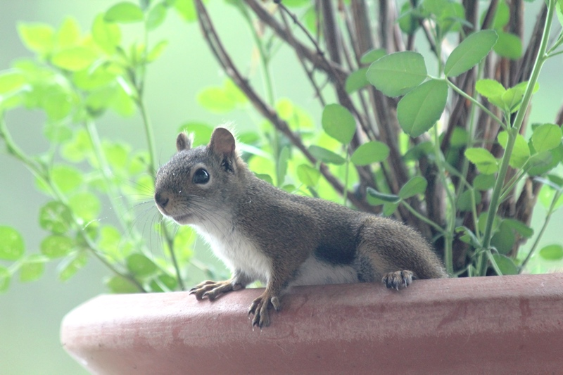 Restless-Roots - Baby squirrel